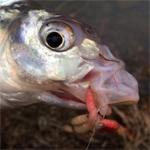 Pești din buza ghieții